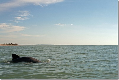 Honeymoon Island Dolphin