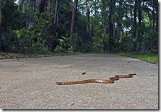 Snake_Jekyll_Island