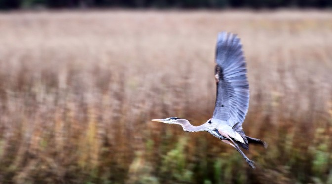 A great blue heron takes flight near the Edisto River.